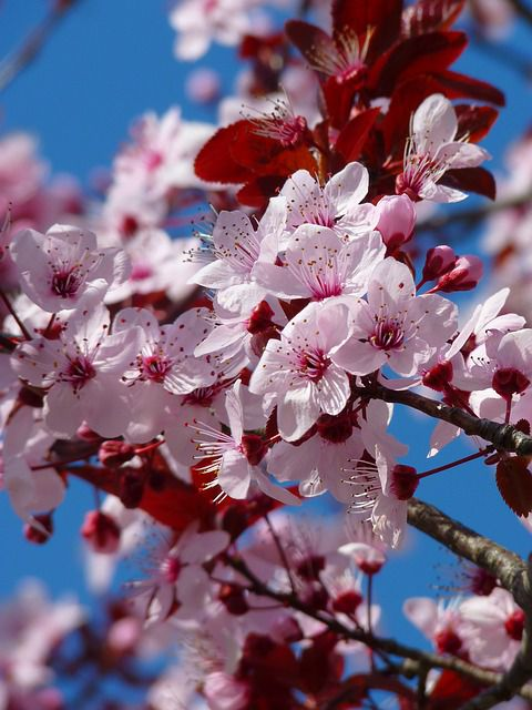 almond-blossoms