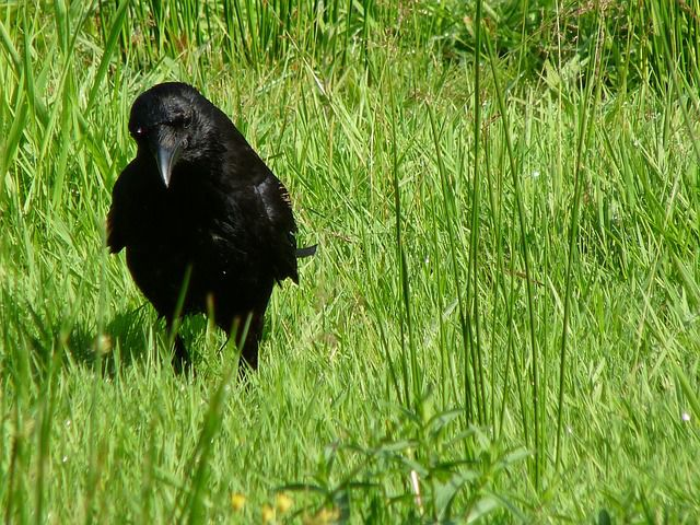 carrion-crow