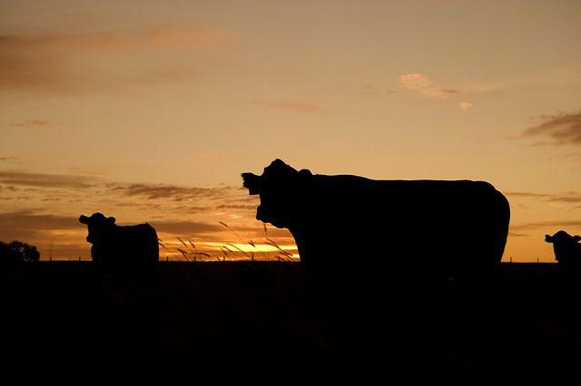 cattle-ranching