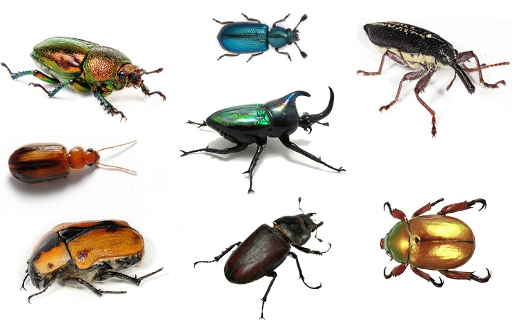 insect-beetle