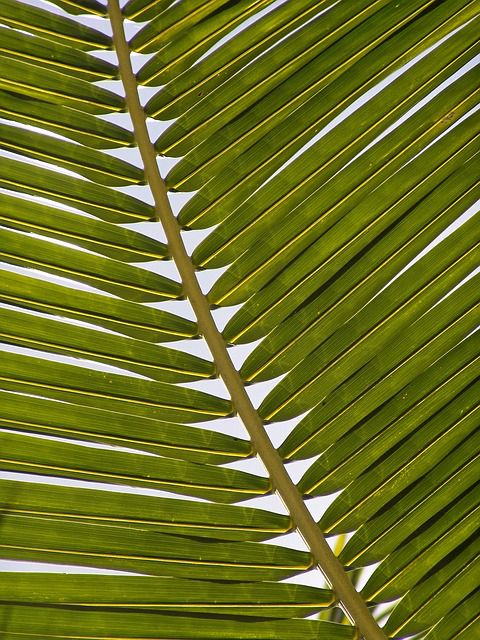 palm-leaves